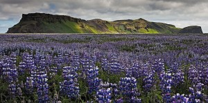 Field of Lupins, Iceland. Photo: Bob Duff